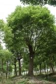 Camphor tree1