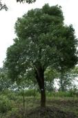 Camphor tree3