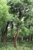 Camphor tree5