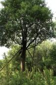 Camphor tree6
