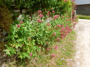 Cetranthus ruber