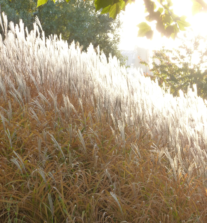 Miscanthus, Paris, France