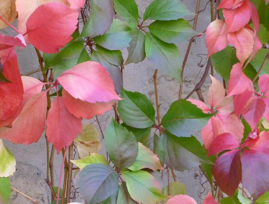 Pathenocissus cinquifolia