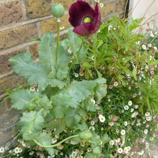 Poppy and Erigeron