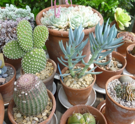 Peter Beardsley's Garden Succulents