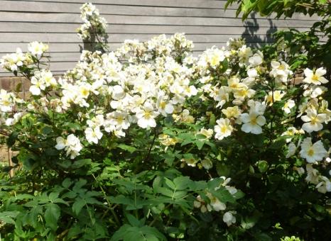 Rosa x oderata 'Yellow Mutabilis'